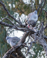 Crested Pigeon, Arkaba Station, South Australia