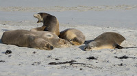 Australain Sea Lions, Seal Bay, Kangaroo Island, South Australia