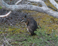 Tammar Wallaby, Kangaroo Island, South Australia