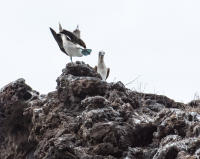 Male Blue-Footed Booby Dances to Impress the Female, Punta Vicente Roca, Isabela Island